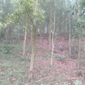 -Cần bán gấp gần 5ha Lâm nghiệp giá hạt dẻ gồm 3 sổ: có cả đất thổ cư và đất vườn.